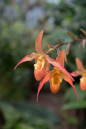 Phragmipedium 'Eric Young'