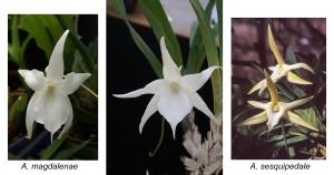 Angraecum-hybriden 'Lemforde' med sina föräldraarter