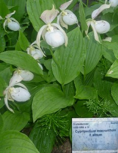 Cypripedium macranthon f. album