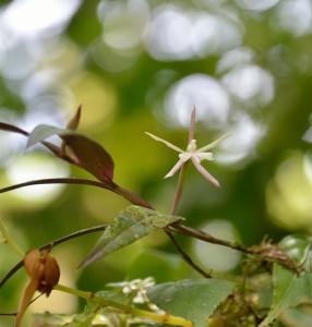 Troligtvis Epidendrum nocturnum.